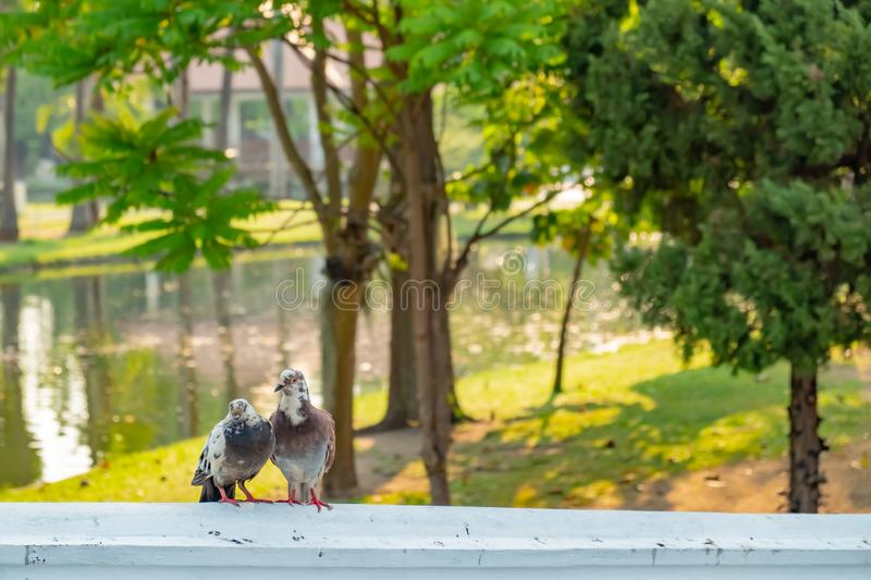 The true love of a couple of pigeons that will be together forever. They are on the bridge railings in the park, love concept royalty free stock photography