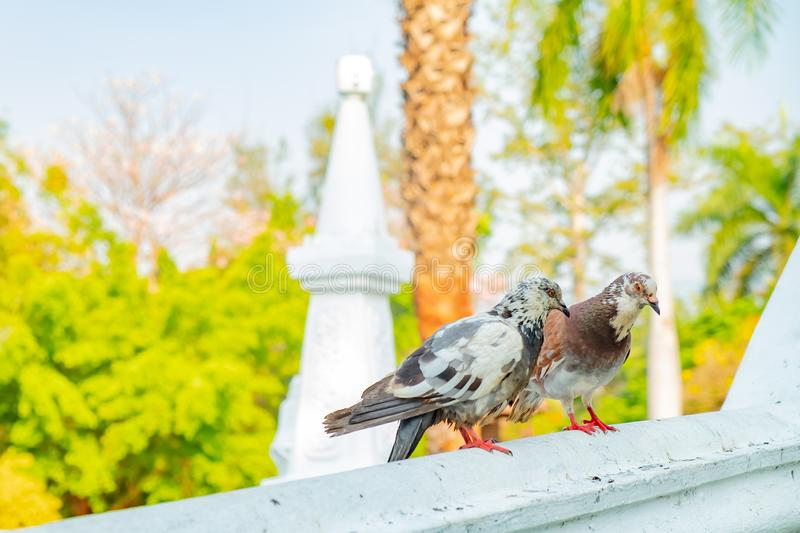 The true love of a couple of pigeons that will be together forever. They are on the bridge railings in the park, love concept royalty free stock photos