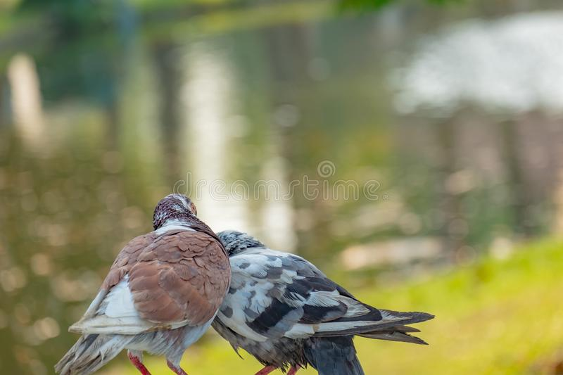 The true love of a couple of pigeons that will be together forever. They are in the park, love concept, copy space royalty free stock photo