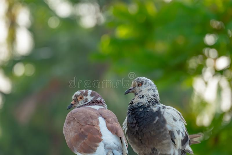 The true love of a couple of pigeons that will be together forever. They are in the park, love concept, copy space royalty free stock photography