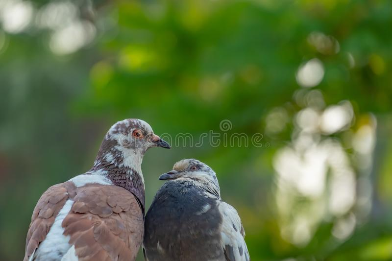 The true love of a couple of pigeons that will be together forever. They are in the park, love concept, copy space royalty free stock images