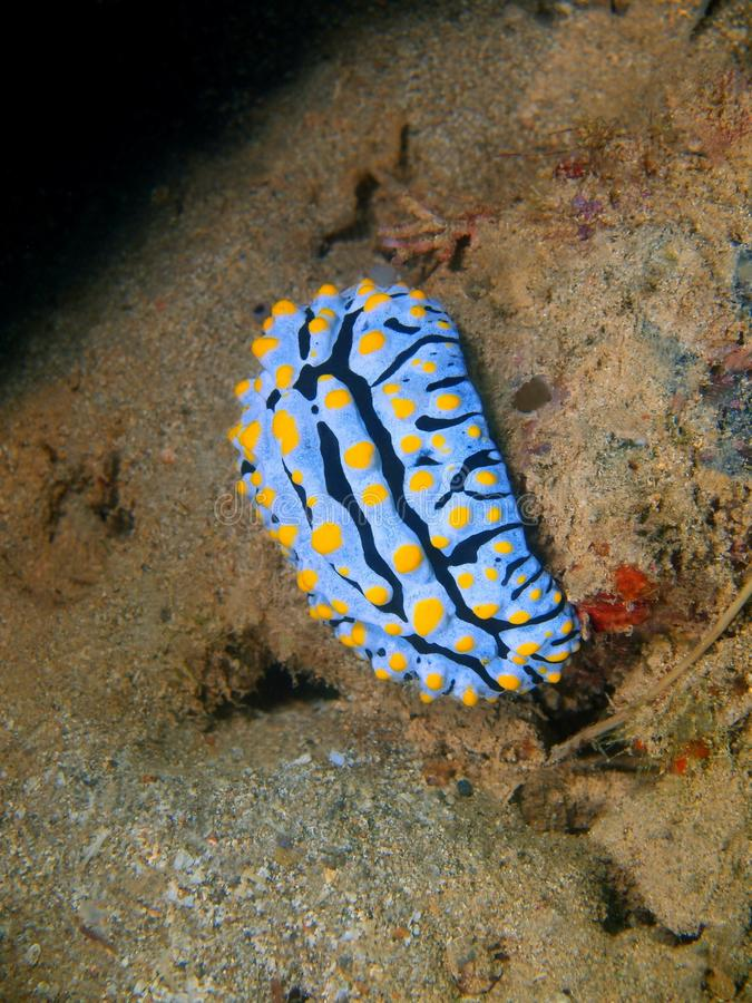 True sea slug. The amazing and mysterious underwater world of the Philippines, Luzon Island, Anilаo, true sea slug stock photography