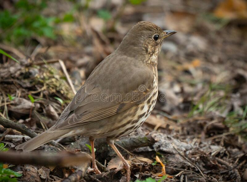 True thrush female bird close-up portrait in the forest royalty free stock image