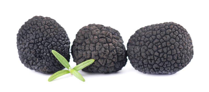 Trufas pretas isoladas sobre fundo branco Trufa fresca com ramificação de rosmaninho Cogumelo de trufa exclusivo da Delicacy imagem de stock