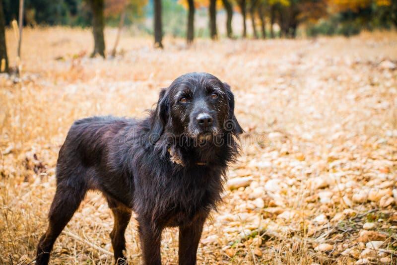 Truffle hunting dog takes a break stock image