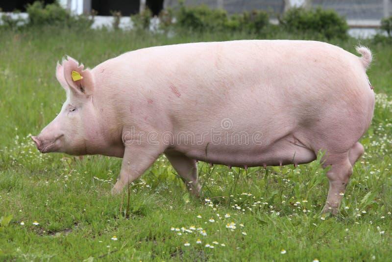 Truie domestique de porc posant sur le pré frais d'herbe verte photographie stock