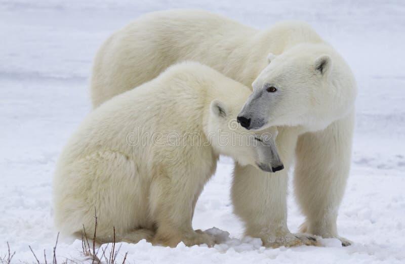 Truie et petit animal d'ours blanc image libre de droits