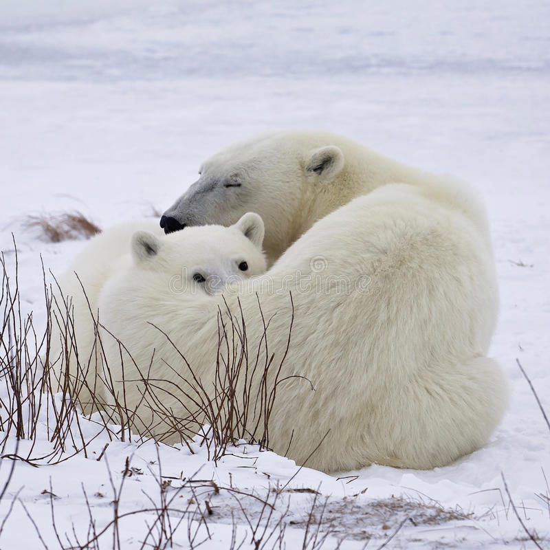 Truie et petit animal d'ours blanc photos stock