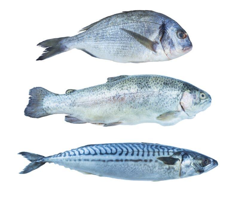 Truite arc-en-ciel de poissons, dorado, maquereau, d'isolement sur un fond blanc Ensemble de poissons de mer Poissons de mer au-d images stock