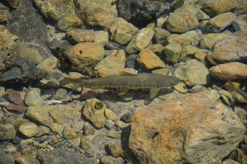 Truite dans l'eau claire photos libres de droits