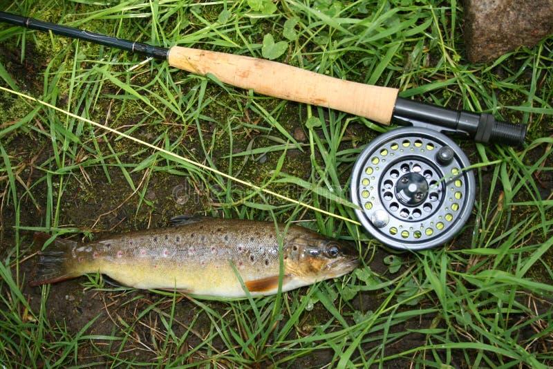 Truite de Brown de pêche de mouche images stock