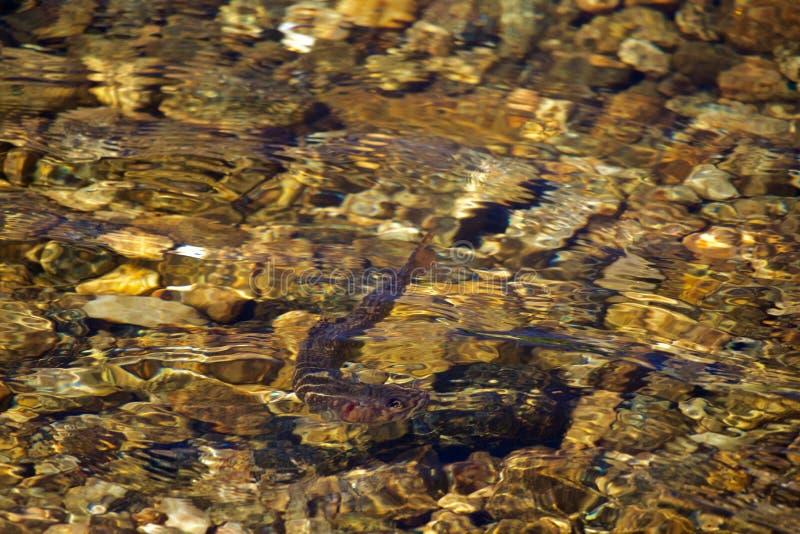 Truite de ruisseau en Crystal Clear Waters photo stock
