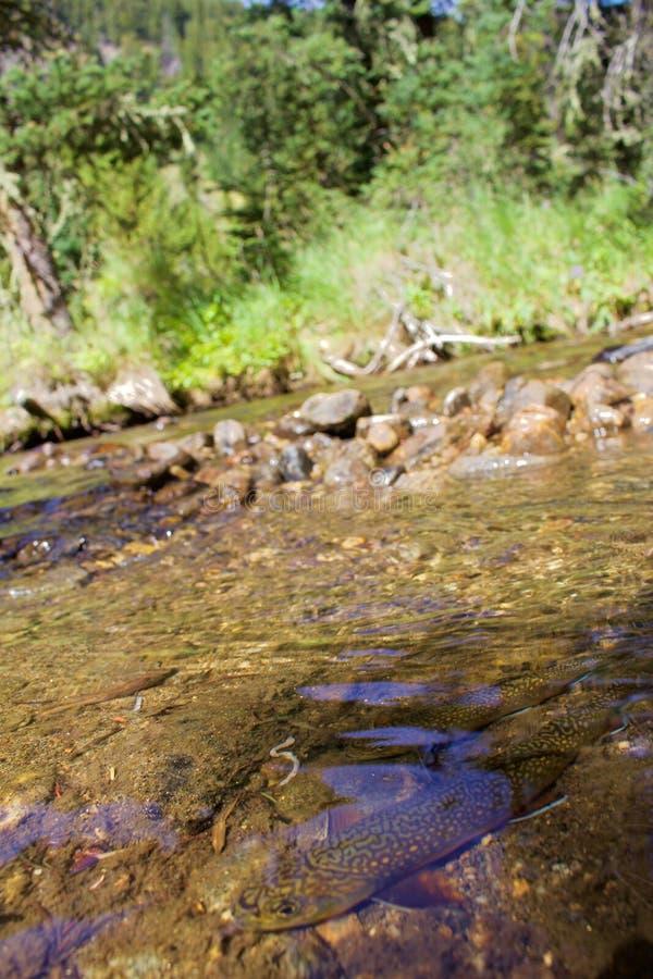 Truite de ruisseau en Crystal Clear Waters photos stock
