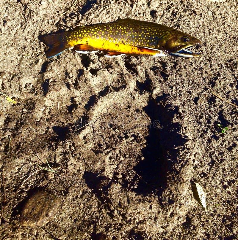 Truite de ruisseau et copie d'ours images libres de droits