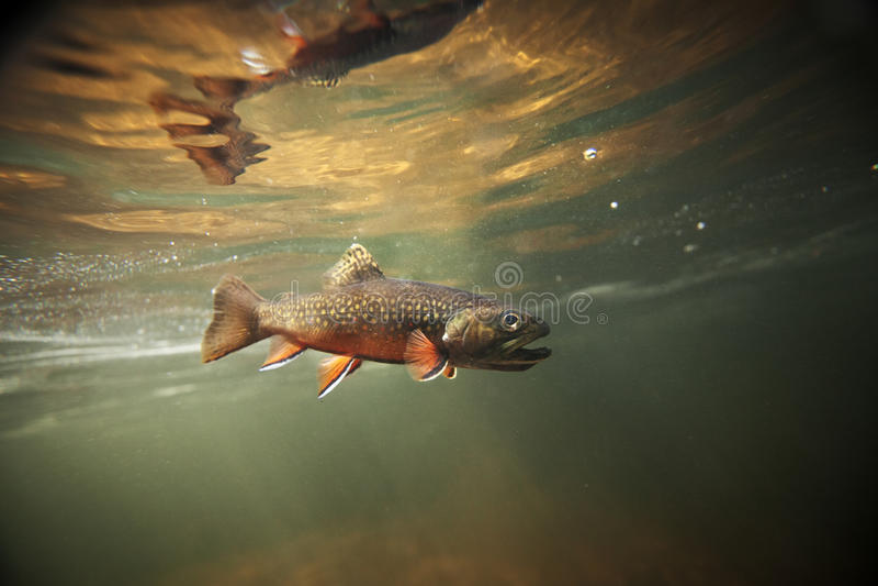 Truite de ruisseau sauvage sous-marine image stock