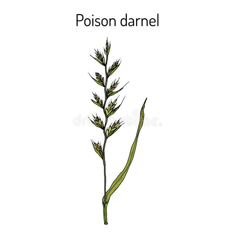 Truje darnel lub cockle Lolium temulentum, lecznicza roślina royalty ilustracja