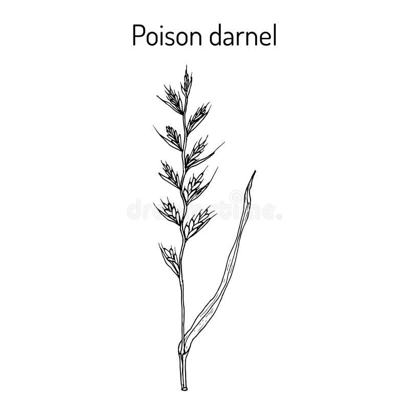 Truje darnel lub cockle Lolium temulentum, lecznicza ro?lina ilustracja wektor