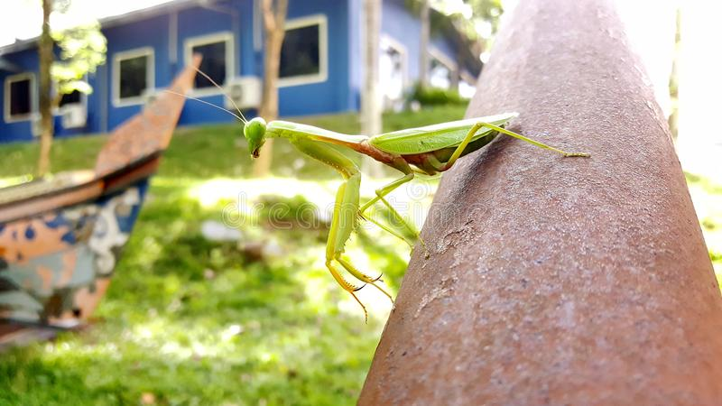 Trulife Killer Mantis royalty free stock photography