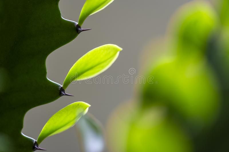 3 Vivid Green Cactus Leaves stock image