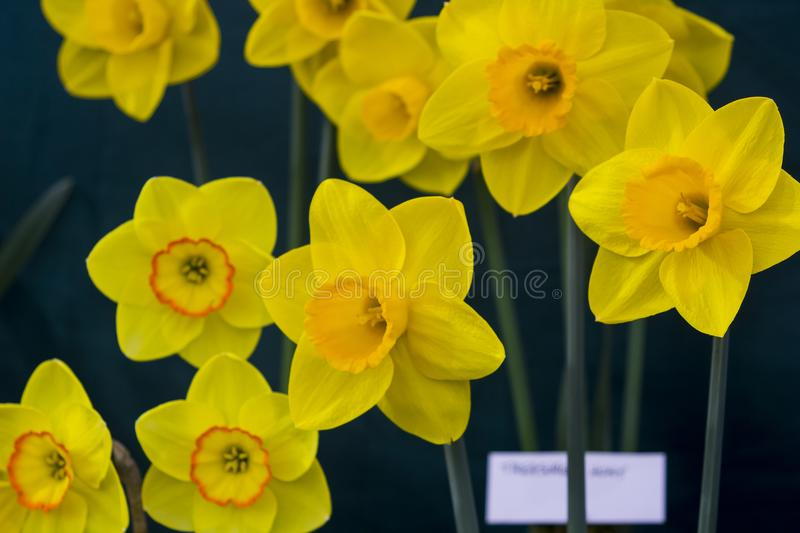 Trumpet daffodil blooms on display in the Junior School section of the annual Spring Festival held in Barnett`s Demesne Belfast N royalty free stock image
