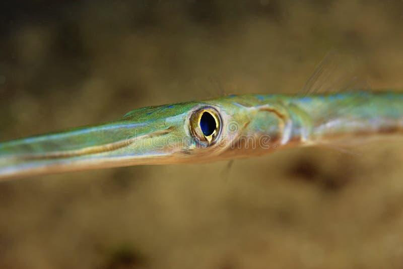 Trumpet-Fish photo libre de droits