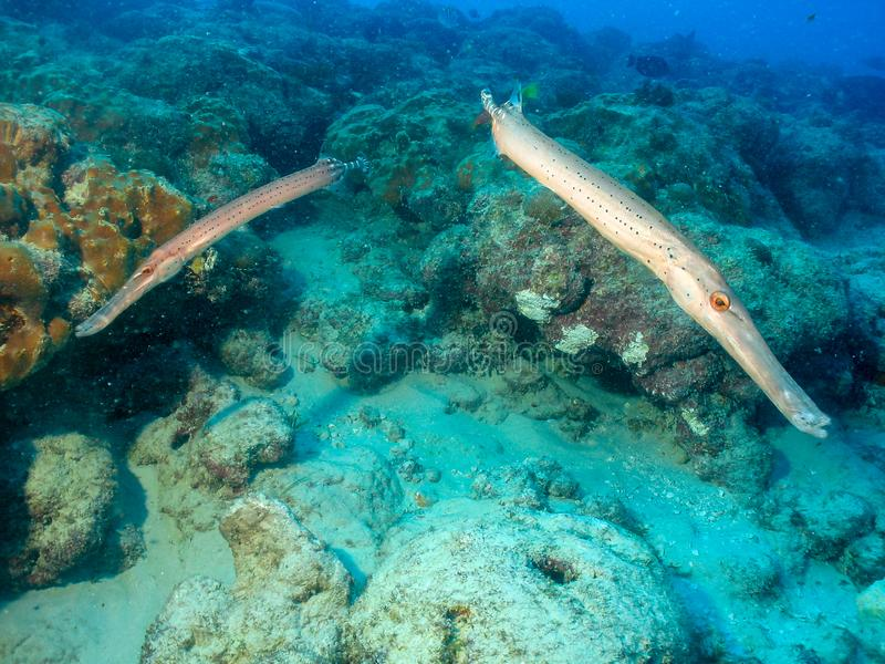 Trumpet fish underwater coral ref in Brazil. Two trumpet fish underwater coral reef at Pedra da Risca do Meio Marine state park, Fortaleza, Ceará, Brazil stock images