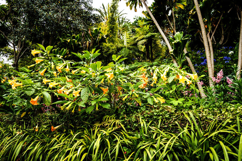 Trumpet flowers in a Beautiful Garden at Monte above Funchal Madeira. This wonderful garden is at the top of the cablecar from the seafront in Funchal. It is royalty free stock photos