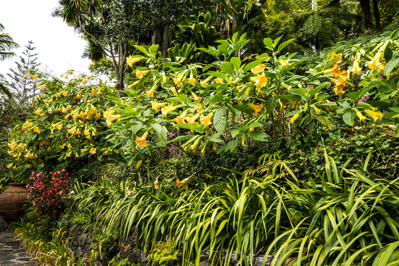 Trumpet flowers in a Beautiful Garden at Monte above Funchal Madeira. This wonderful garden is at the top of the cablecar from the seafront in Funchal. It is stock images