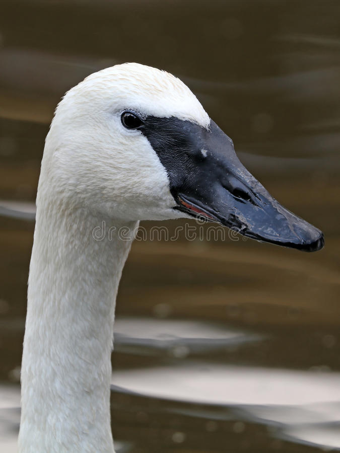 Trumpet swan. A trumpet swan close up stock photography