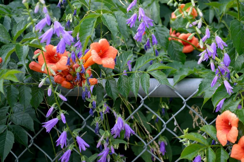 Download Trumpet Vine And Creeping Bellflower Stock Image - Image of idaho, common: 105488365