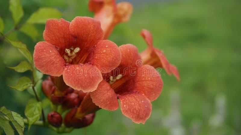 Trumpet vine flowers stock image