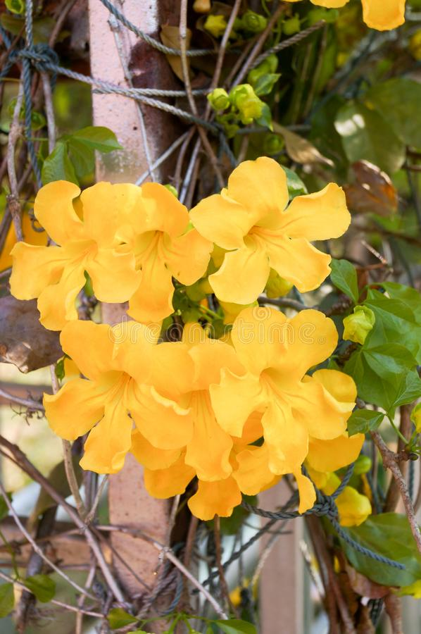 Trumpetbush are blooming in the garden. Yellow trumpetbush are blooming in garden look fresh and relax stock photos