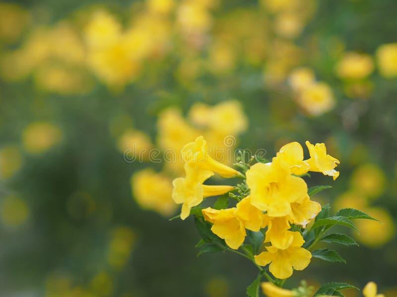 Trumpetbush Yellow elder flower on blurred nature background. Closeup Trumpetbush Yellow elder flower on blurred nature background royalty free stock photos