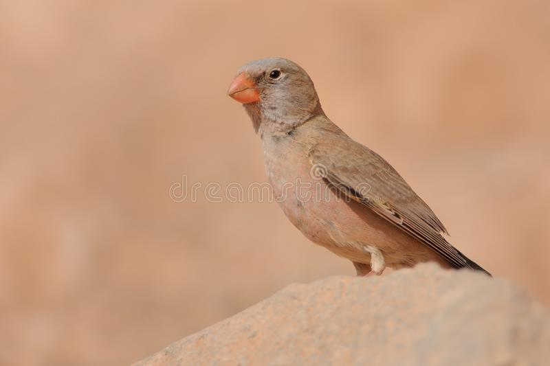 Trumpeter Finch - Bucanetes githagineus. Sitting on the rock, beautiful pink and gey song bird living in deserts and semi-deserts of the north Africa, Canary royalty free stock photos