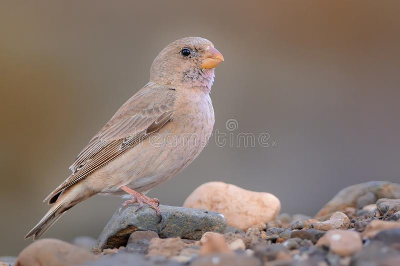 Trumpeter Finch - Bucanetes githagineus. Sitting on the rock, beautiful pink and gey song bird living in deserts and semi-deserts of the north Africa, Canary royalty free stock photo