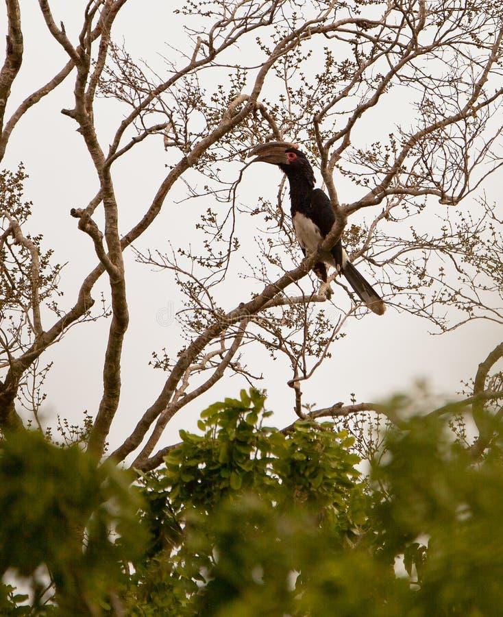 Free Trumpeter Hornbill On A Tree Stock Photos - 25097633