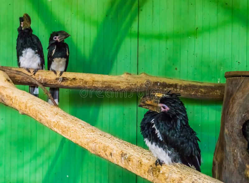 Trumpeter hornbills in a aviary, tropical bird specie from africa, popular zoo animals and aviary pets. Some trumpeter hornbills in a aviary, tropical bird royalty free stock photos