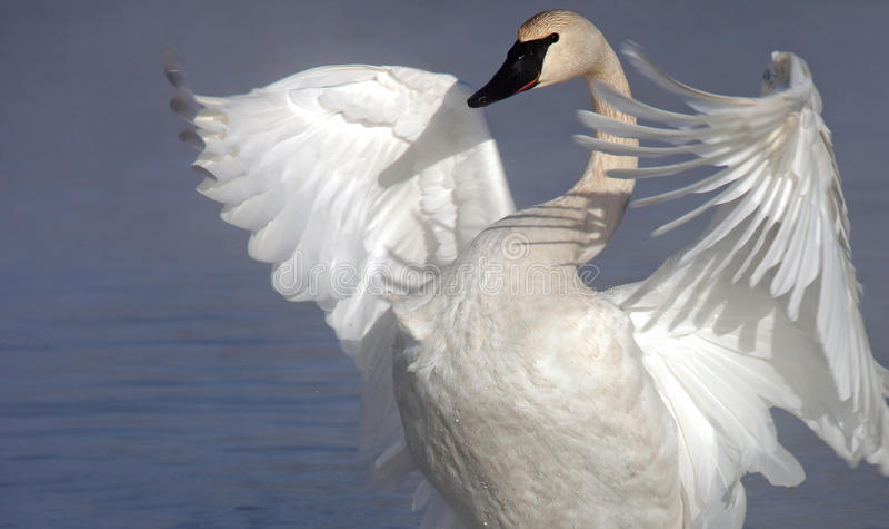 Download Trumpeter Swan Stock Photos - Image: 22959713
