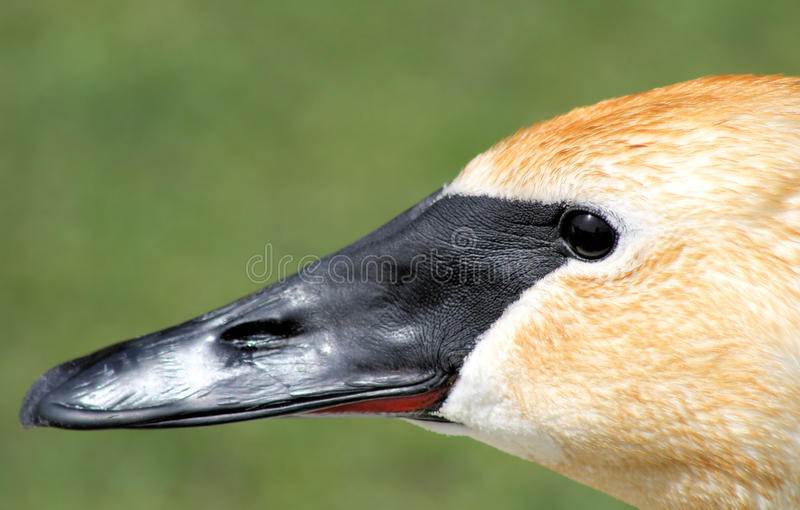 Download Trumpeter Swan stock photo. Image of trumpeter, profile - 25003466