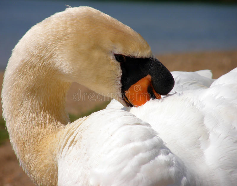 Download Trumpeter Swan stock image. Image of closeup, wildlife - 25370763