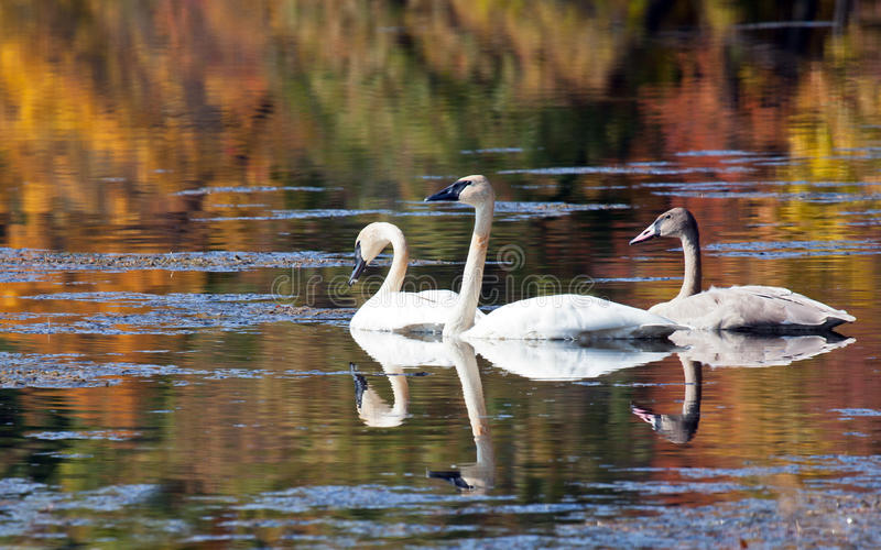 Download Trumpeter Swan stock photo. Image of family, beautiful - 26891604