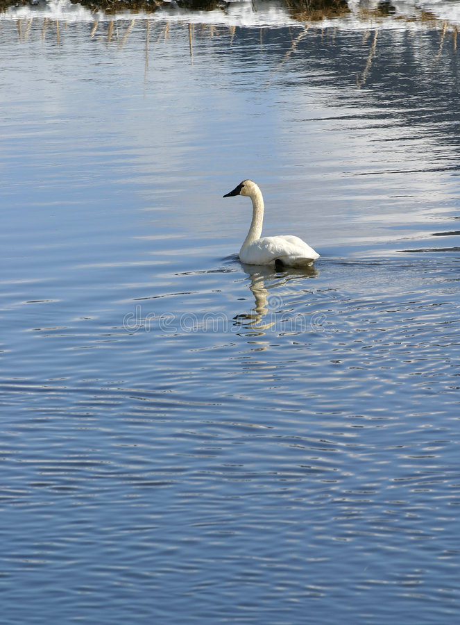 Trumpeter Swan. A beautiful Trumpeter Swan floats on a cold winter blue stream stock photos