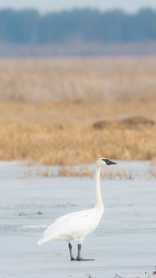 A trumpeter swan on a beautiful sunny spring / late winter day - taken in the Crex Meadows Wildlife Area in Northern Wisconsin stock photography
