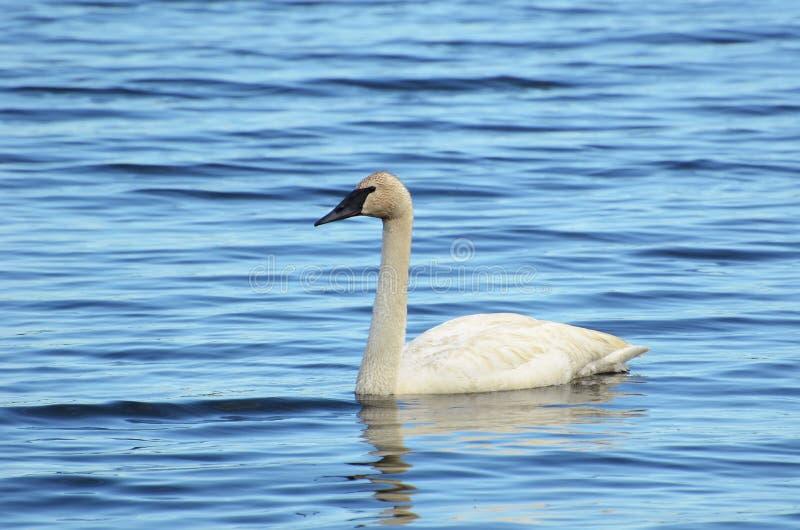 Download Trumpeter Swan (Cygnus Buccinator) Stock Image - Image: 25636835