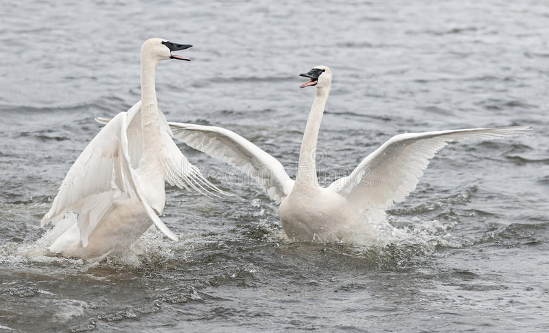 Trumpeter Swan (Cygnus buccinator) Conflict royalty free stock images