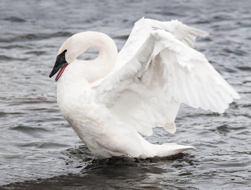 Trumpeter Swan (Cygnus buccinator) Display royalty free stock images