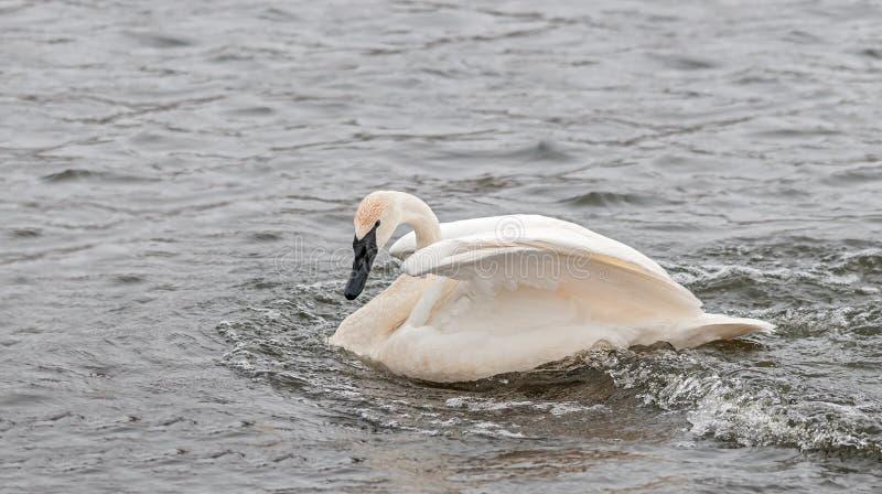 Trumpeter Swan (Cygnus buccinator) Folds Its Wings