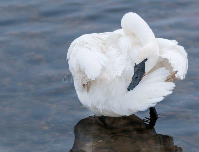 Trumpeter Swan (Cygnus buccinator) Preens stock photography
