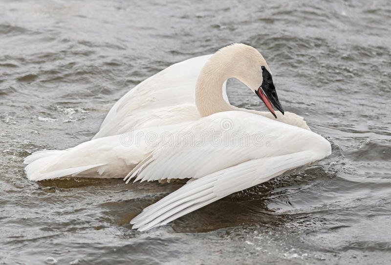 Download Trumpeter Swan (Cygnus Buccinator) Spread Wings Stock Photo - Image of nature, beauty: 23600526