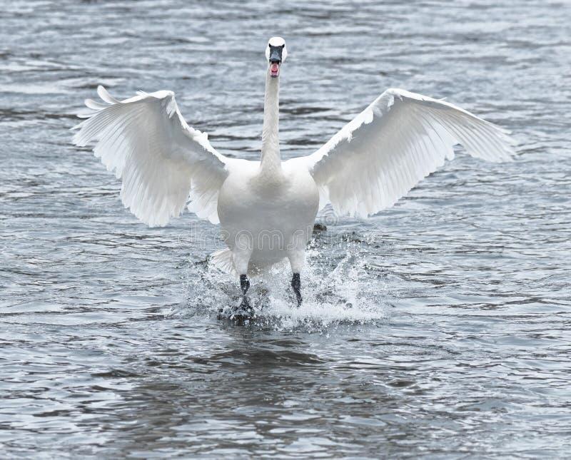 Trumpeter Swan (Cygnus buccinator) Touchdown stock photo